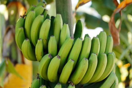 green-banana-bunch-in-a-vegetable-farm-f4-1024x682